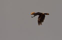 cheeked hornbill серебристый стоковая фотография rf