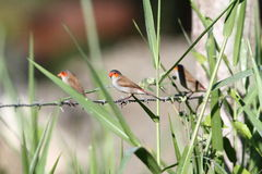 Cheeked orange Waxbill Photographie stock libre de droits