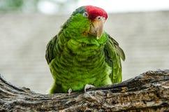 Cheeked verde el Amazonas Foto de archivo libre de regalías