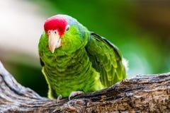 Cheeked verde el Amazonas Imagen de archivo