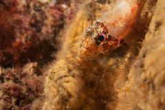 Cheekspot scorpionfish Royalty Free Stock Photo