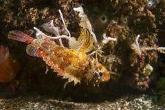 Cheekspot Scorpionfish-Scorpaenodes littoralis Stock Photography