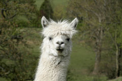 Cheeky Alpaca Stock Images