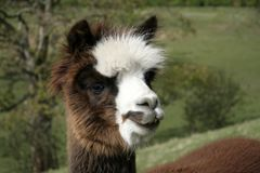 Cheeky Alpaca Stock Photo
