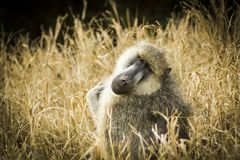 Baboon staring at the camera in Tsavo west national park Kenya East Africa Royalty Free Stock Image