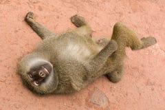 Cheeky Baboon Smiles Stock Photos