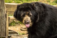 The cheeky bear. A cheeky bear sticks its tongue out Stock Image