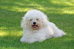 Cheeky bichon frise Royalty Free Stock Photo