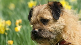 A cheeky border terrier Royalty Free Stock Image
