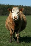 Cheeky Charolais. Heavily pregnant cow sticks her tongue out royalty free stock photography