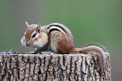 Cheeky Chipmunk Stock Images
