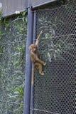 Cheeky Climbing Baby Baboon Royalty Free Stock Photography