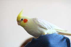 Cheeky Cockatiel parrot Stock Image