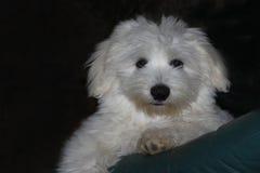 Cheeky Coton de Tulear puppy Royalty Free Stock Photos