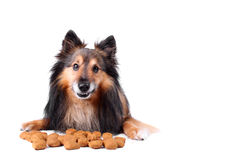 Cheeky dog. Small Sheltie or Shetland sheepdog with dogfood in front of him with cheeky smile (Not Isolated royalty free stock photography