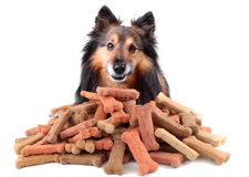 Cheeky dog. Small Sheltie or Shetland sheepdog with dog treats in front of him with cheeky smile (Not Isolated royalty free stock photos