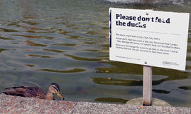 Cheeky duck royalty free stock image