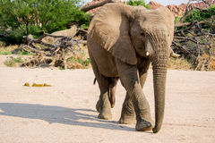 Cheeky Elephant. A young elephant trots away from a pile of elephant dung Stock Photos