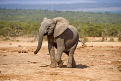 Cheeky Elephant Royalty Free Stock Image
