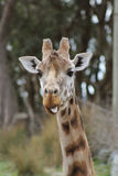 Cheeky Giraffe poking out its tongue. A cheeky giraffe caught in a comical pose with tongue poking out - captured at Wellington Zoo, New Zealand stock photo