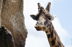 Cheeky giraffe staring at camera Stock Photography