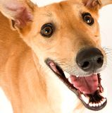 Cheeky Greyhound. A tan greyhound against a white background, lookin up with its mouth open stock photo