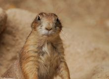 Cheeky groundhog. Close up portrait of a Cheeky groundhog Royalty Free Stock Image