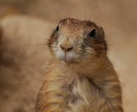Cheeky groundhog. Close up portrait of a Cheeky groundhog royalty free stock photo