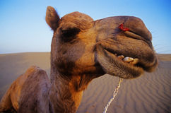 Cheeky Happy Camel in the Desert Stock Image
