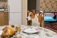 Hungry Basenji dog taken its place at dinner table. Cheeky and hungry Basenji dog taken its place at dinner table Stock Images
