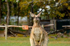 Cheeky Kangaroo Royalty Free Stock Image