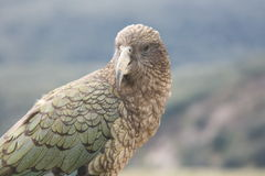 Cheeky Kea, New Zealand Royalty Free Stock Photos