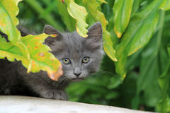 Cheeky kitten face close up Royalty Free Stock Images