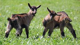 Cheeky little goats Royalty Free Stock Photography