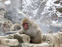 A cheeky looking Snow Monkey Japanese Macaque in profile from Japan royalty free stock photography