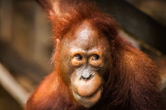 Cheeky monkey. A juvenile orangutan with a cheeky grin, Tanjung Puting National Park, Kalimantan Tengah (Indonesia), Borneo. Horizontal with copy space stock image