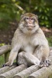 Cheeky monkey. A Macaque monkey sitting on a seat, he looks very cheeky Royalty Free Stock Photo