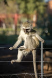Cheeky monkey on fence Royalty Free Stock Image