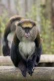 Cheeky Monkey. A monkey poking its tougue out Royalty Free Stock Photo