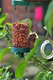 A cheeky mouse feeding on my bird feeder in my garden Stock Images