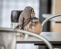 Cheeky Noisy Miner (Manorina melanocephala) Eating Sugar from Ca Royalty Free Stock Photos