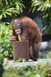 Cheeky orangatung Royalty Free Stock Photo