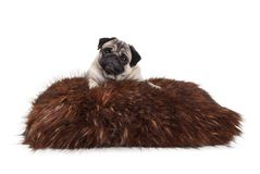 Cheeky pug puppy dog lying down on fuzzy fake fur pillow. Isolated on white background royalty free stock photo