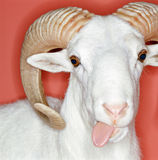 Cheeky ram Stock Photography