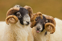 Cheeky Rams Royalty Free Stock Photography