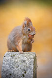 Cheeky red squirrel Royalty Free Stock Photo