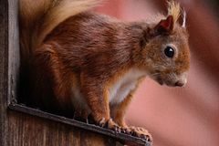 Cheeky Red Squirrel sat on a Birds box. Red Squirrel on a birds box at Brownsea Island Royalty Free Stock Photography