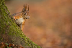 Cheeky red squirrel Royalty Free Stock Image