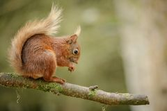 Cheeky red squirrel Royalty Free Stock Photos