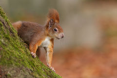Cheeky red squirrel Royalty Free Stock Photography